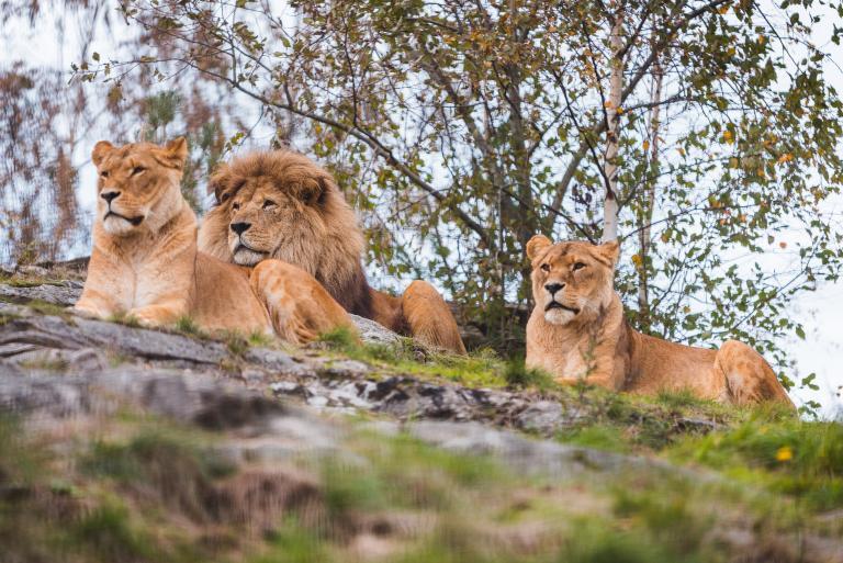 Dyrepresentasjon: Løver (Maks. 200 plasser)