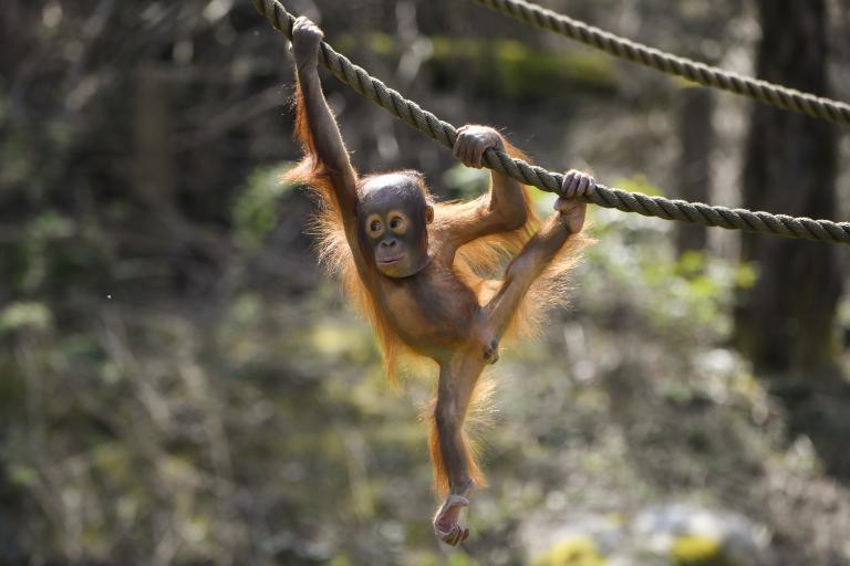 Dyrepresentasjon: Orangutanger