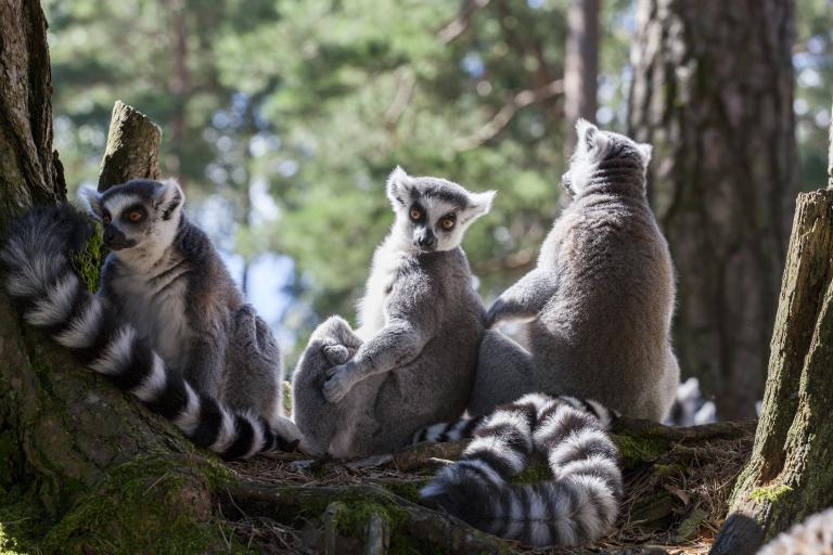 Dyrepresentasjon: Lemurer (Maks. 70 plasser)