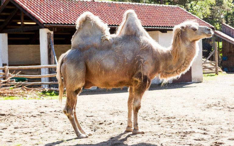 Baktrisk kamel