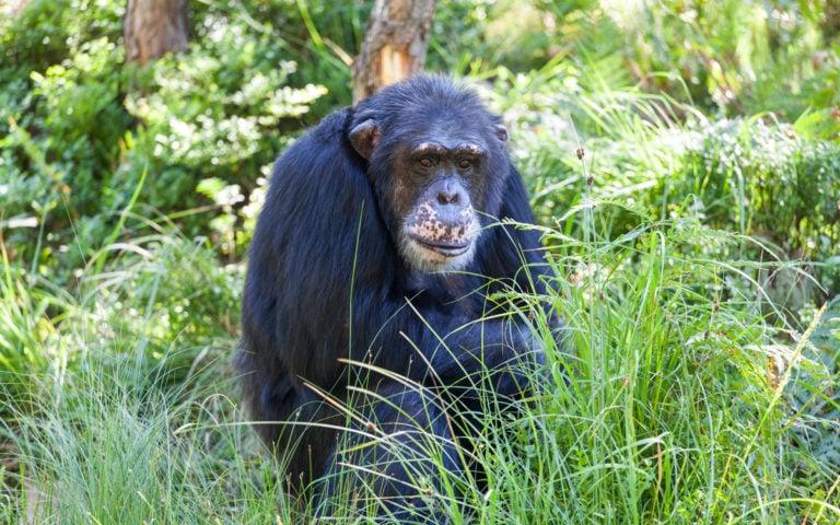 Sjimpanse