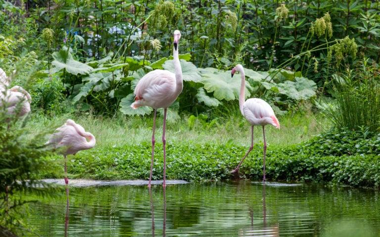 Stor flamingo