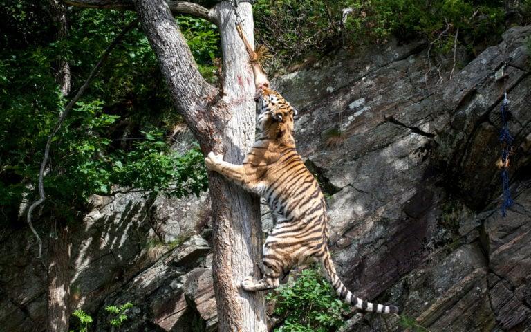 Dyrepresentasjon: Sibirsk tiger