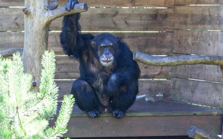 Dyrepresentasjon: Sjimpanser